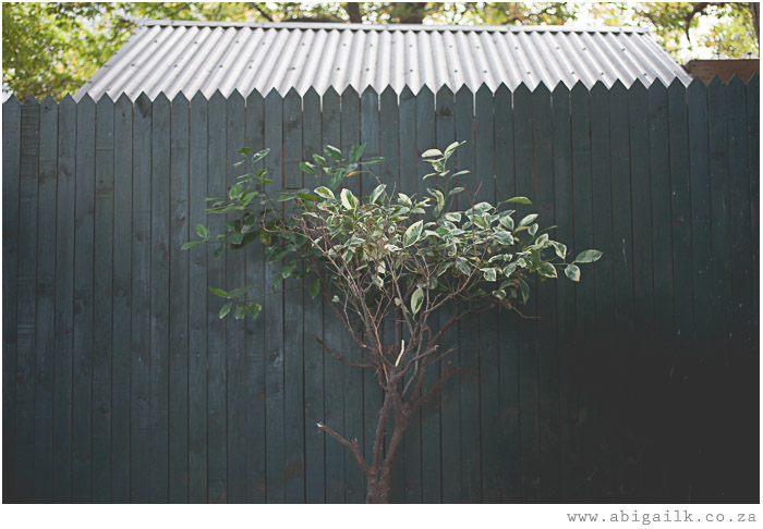 small tree against green wooden fence
